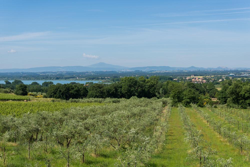 oliveto di villa fontanicchio, sul lago trasimeno